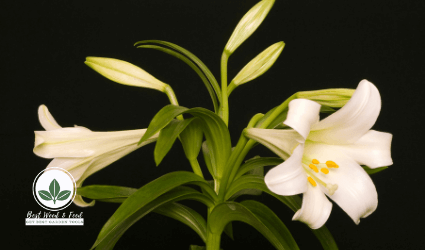 How to Grow Easter Lilies